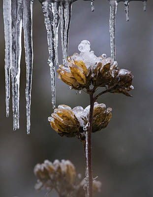 Rose Of Sharon Photograph - Icicles And Ice Flowers by Angie Vogel