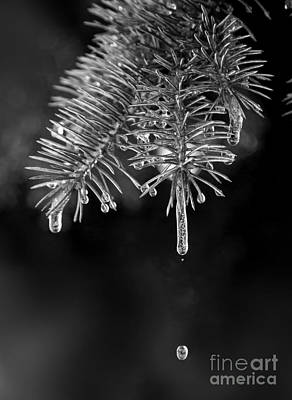 Icicles Melting On A Pine Branch Art Print by Twenty Two North Photography