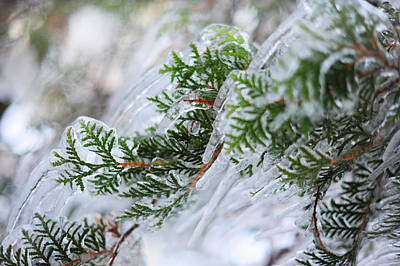 Photograph - Icicles On The Juniper Green Branches by Jenny Rainbow
