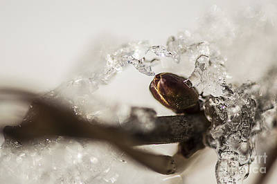 Photograph - Icy Bud by JT Lewis