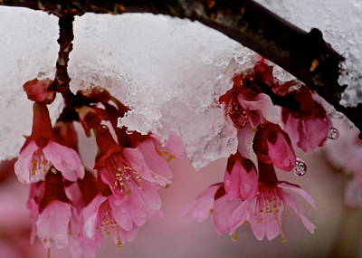 Icy Cherry Blossoms Art Print