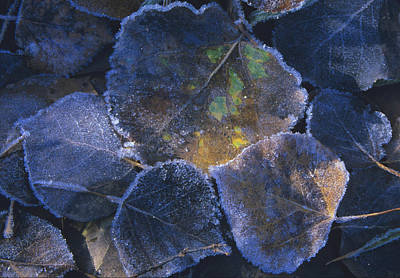 Icy Leaves Art Print