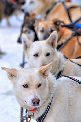 Iditarod Dogs Photograph - Iditarod Team by Ron Day