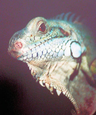 Photograph - Iggy My Crazy Iguana by Belinda Lee