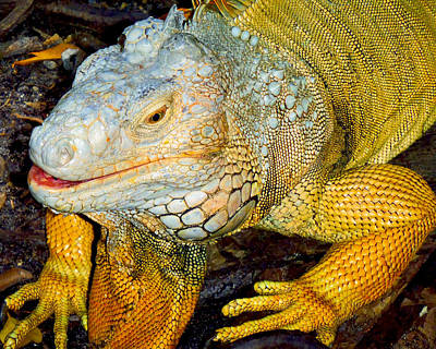 Reptiles Royalty-Free and Rights-Managed Images - Iggy by Carey Chen