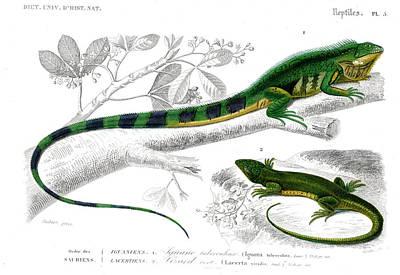 Iguana And Green Lizard Art Print