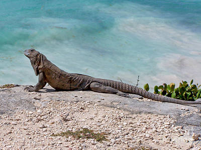 Photograph - Iguana At Tulum by Tom Doud