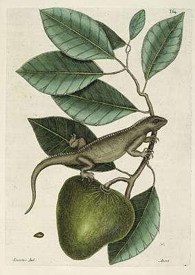 Iguana Wall Art - Photograph - Iguana by British Library