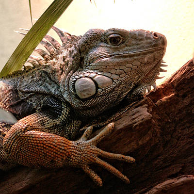 Photograph - Iguana by Chrystal Mimbs