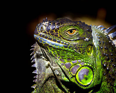 Reptiles Photograph - Iguana Close Up by Mark Andrew Thomas