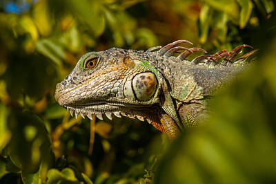 Photograph - Iguana Colors by Ed Gleichman