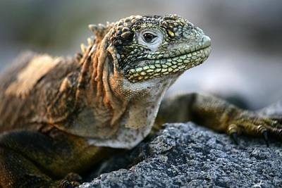 Land Iguana Photograph - Iguana, Conolophus Subcristatus by David Santiago Garcia