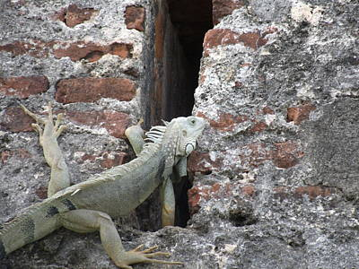 Art Print featuring the photograph Iguana by David S Reynolds