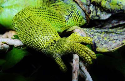 Iguana Details Art Print