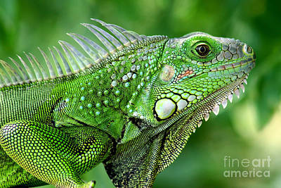 Photograph - Iguana by Francisco Pulido