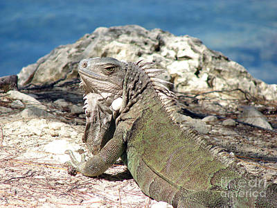 Iguana In The Sun Art Print