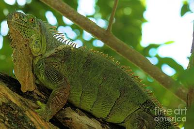 Photograph - Iguana In The Trees by Adam Jewell