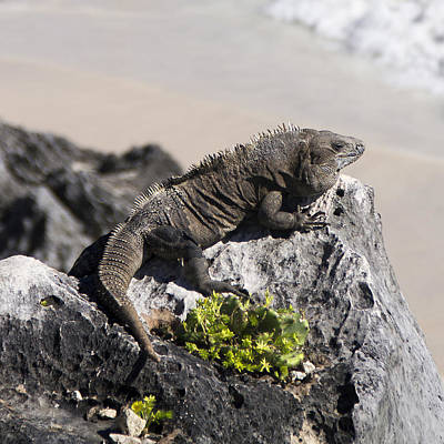 Photograph - Iguana In Tulum by For Ninety One Days