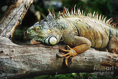 Iguana Wall Art - Pyrography - Iguana by Jelena Jovanovic