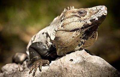Photograph - Iguana by John Magyar Photography