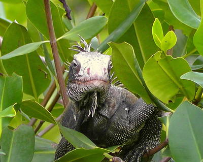 Photograph - Iguana Looking Back by Larry Ward
