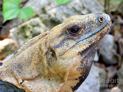 Photograph - Iguana Of The Uxmal Pyramids In Yucatan Mexico by Michael Hoard