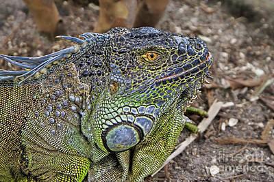 Photograph - Iguana by Olga Hamilton