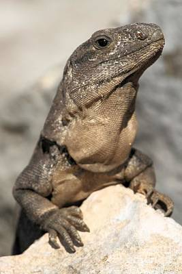 Photograph - Iguana On A Rock by Adam Jewell