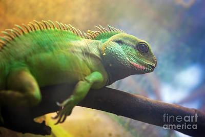 Lazy Photograph - Iguana On Branch by Michal Bednarek