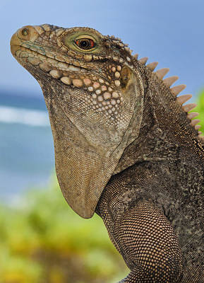 Photograph - Iguana One by Stephen Anderson