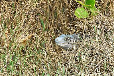 Photograph - Iguana Peek-a-boo by Alan Lenk