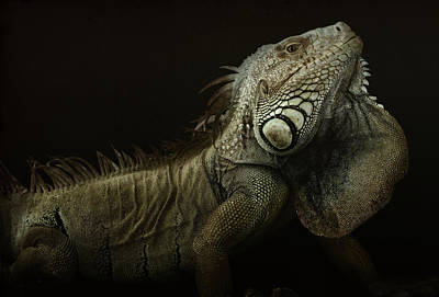 Dragon Photograph - Iguana Profile by Aleksandar Milosavljevi?