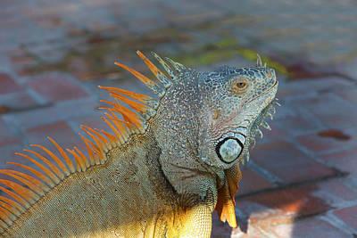 Iguana Wall Art - Photograph - Iguana, Puerto Vallarta, Jalisco, Mexico by Douglas Peebles