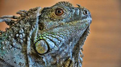 Photograph - Iguana by Robert Knight