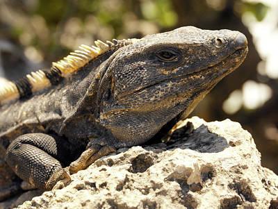 Iguana Wall Art - Photograph - Iguana by Steve Allen/science Photo Library