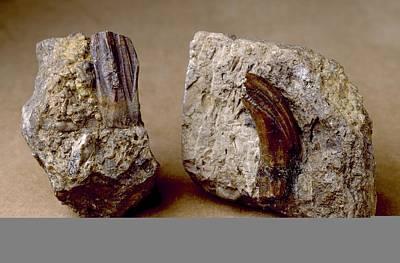 Iguanodon Dinosaur, Fossil Teeth Art Print by Science Photo Library
