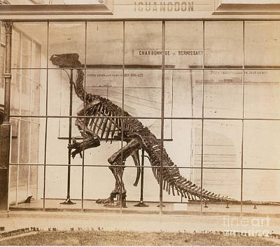 Photograph - Iguanodon Skeleton Mesozoic Dinosaur by Science Source
