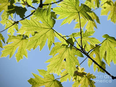 Illuminated Leaves Art Print by Gayle Swigart