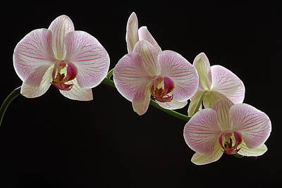 Illuminated Orchid Art Print by Juergen Roth
