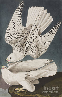 Falcon Painting - Illustration From Birds Of America by John James Audubon
