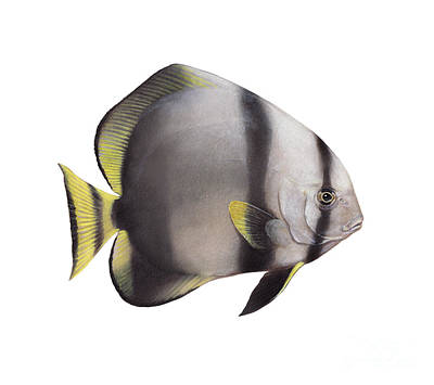 Illustration Of A Batfish, White Print by Carlyn Iverson