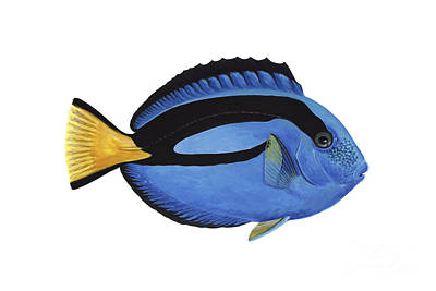 Illustration Of A Blue Tang Fish Print by Carlyn Iverson