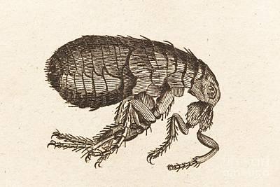Illustration Of A Flea Print by David Parker