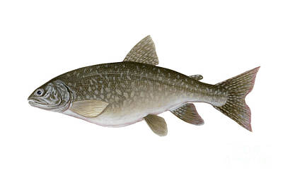 Illustration Of A Lake Trout Salvelinus Print by Carlyn Iverson