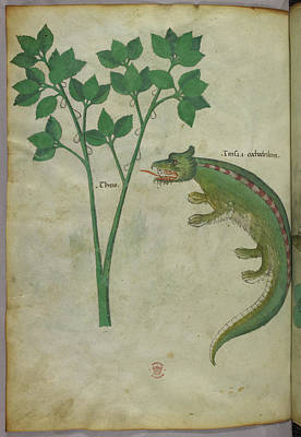 Crocodile Photograph - Illustration Of A Plant And A Crocodile by British Library