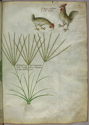 Categories Photograph - Illustration Of A Plant And Two Roosters by British Library