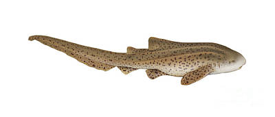 Illustration Of A Zebra Shark Print by Carlyn Iverson