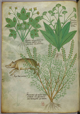 Boar Photograph - Illustration Of Plants And A Boar by British Library