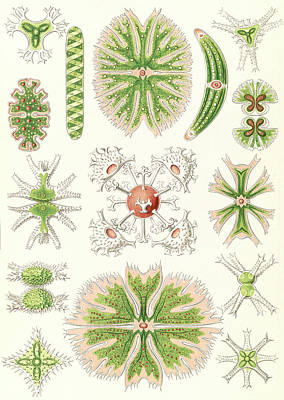 Illustration Shows Algae. Desmidiea. - Bierdinge Art Print