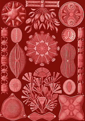 Illustration Shows Algae. Diatomea. - Schachtellinge Art Print